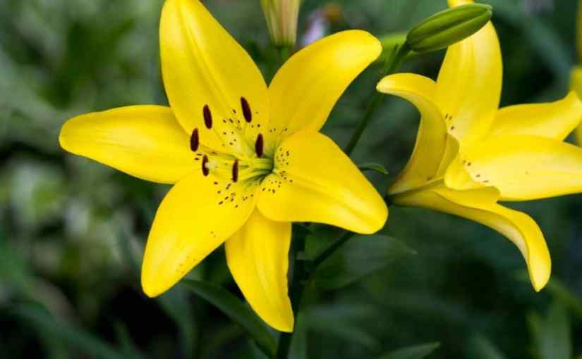 Yellow lilies for solstice